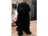 Labradoodle Puppy (F1), Last 1 available out of litter of 11