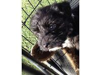 Terrier puppy's