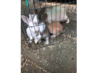 3 adorable baby rabbits looking for new home ready to go now