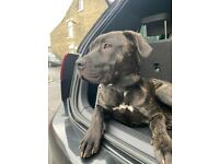 Beautiful 7 month puppy Cane Corso/ Presa Canario mix very rare breed