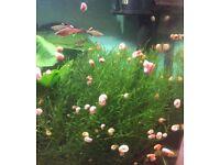 Aquarium Ramshorn Snails £5 Per Tub