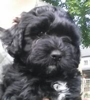Shih poo puppies ready for home!