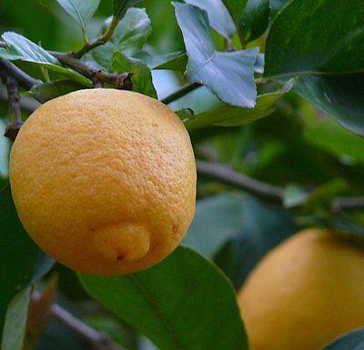 Aceite Esencial De Limón Puro Y Natural 100ML