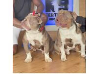 Lilac olde English bulldog puppies