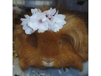 Handsome guinea pig looking for a new good home