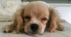 Small Cavalier King Charles Spaniel X Poodle