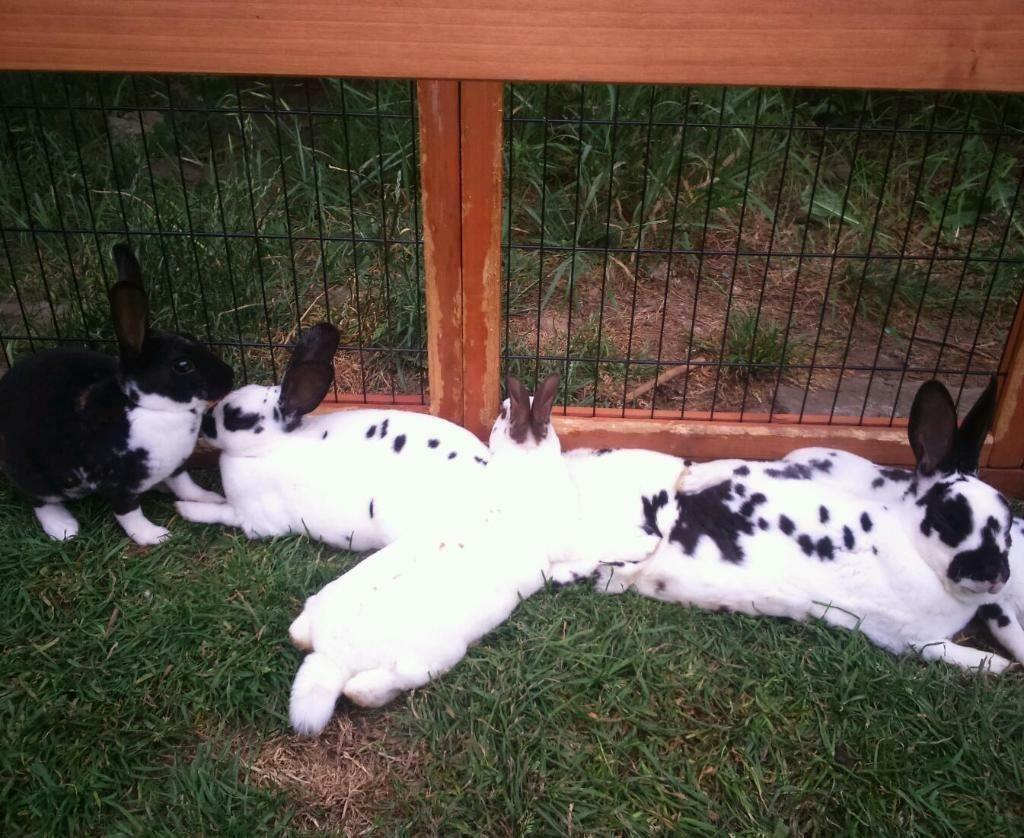 mini rex rabbits - 1 broken black 1 broken chocolate | in ...