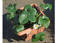 22cm Square Venetian Planter with 2 well rooted strawberry plants.