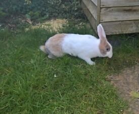 Two female rabbits with 2 floor hutch
