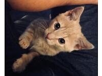 Kitten - Rare Colour