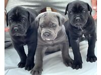 cane Cane Corso's puppies for sale