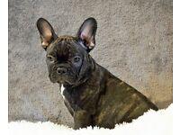 kc reg male french bulldog puppies vac microchip ready now