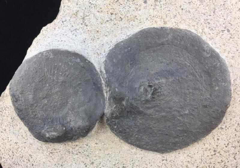 DOUBLE ELDONIA BERBERI (MEDUSA) JELLYFISH  FOSSIL FROM MOROCCO - TRILOBITE AGE