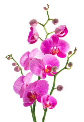 die phalaenopsis orchidee eine zierde f r ihre. Black Bedroom Furniture Sets. Home Design Ideas