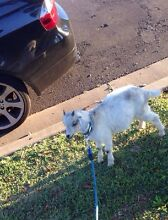 BABY GOAT FOR SALE Canterbury Canterbury Area Preview
