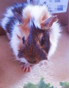 Guinea pig looking for a new home Strathfield Strathfield Area Preview