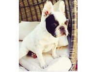 French bulldog in London | Dogs & Puppies for Sale - Gumtree