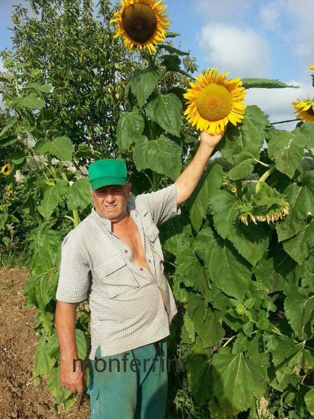 Sonnenblumen XXL Italiens  Riesen 30+ Samen. Für jeden Garten toll anzuschauen!