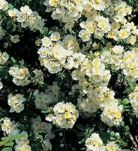 large climbing plants - Climbing Plants