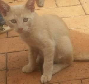 FRER Ginger Kitten 4months