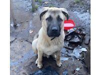 Anatolian Shepard dog puppy (Turkish kangal)
