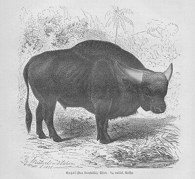 Gayal Gaur Bos frontalis Stier Holzstich von 1891 Rinder Rinderrassen Mützel