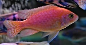 20% Off Firecracker/Strawberry Dragon Blood Males African Cichlids