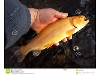 golden trout 9 to 10 inch