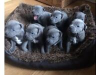 Blue Staffordshire bull puppys
