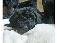 F1 Miniature x Toy poodle puppies.Black.Very cute.Very affectionate. View now, ready 7th September.
