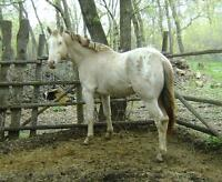 Super Quiet, Appaloosa buckskin/blnkt.3 yrs Stud or Geld him.