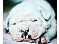 Alapaha blue blood bulldog puppys