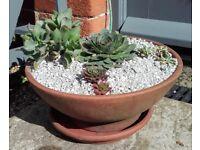Terracotta pan with succulents