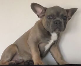 home reared KC kennel club registered French bulldog puppies ready to leave