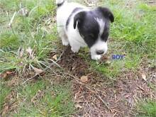 Jack Russell puppies for sale Urbenville Tenterfield Area Preview