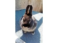 Netherland Dwarf baby rabbits ready now from former National Champion