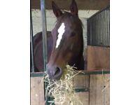 Beautiful 16.2 TB cross bay mare