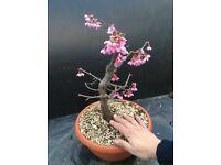 Prunus Okame Wild Flowering Prebonsai material