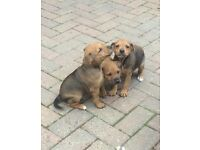 Patterdale X jack Russell pups for sale