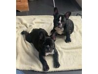 Last 2 remaining, price reduced - French Bulldog puppies ready now - KC Registered