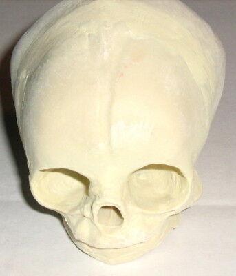 Fetal Human Skull Anatomical Model Infant Baby Med Medical Anatomy Bones New