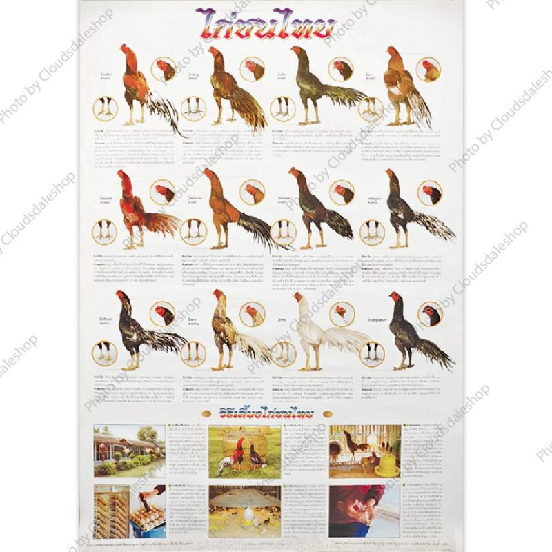 THAILAND FIGHTING COCKS POSTER ALL THAI SPECIES EDUCATION CHICKEN PHOTO