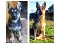 Beautiful German Shepherd pups for sale