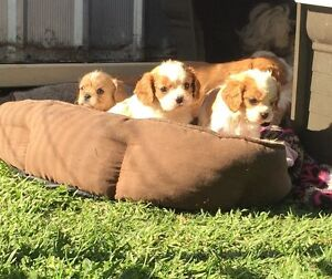 Cavalier puppies for sale The Oaks Wollondilly Area Preview