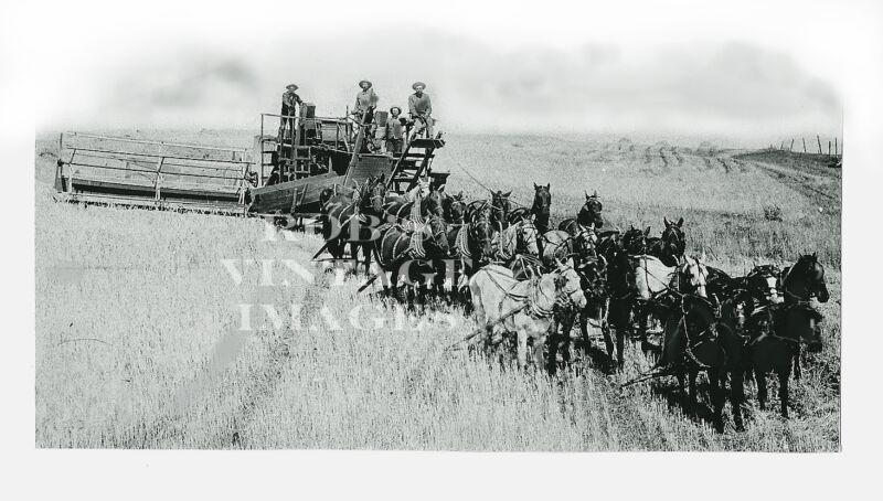 Vintage Farm Photo harvest Combine combining wheat 1890s-1900 Horses.Threshing