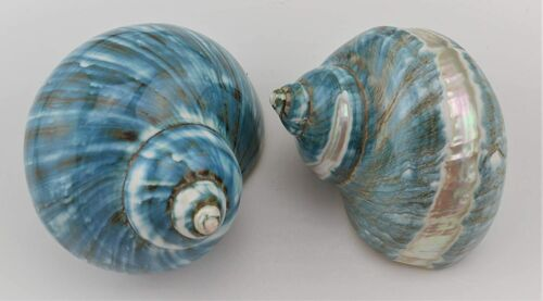 """2 PCS Polished White Banded Green Jade Turbo Hermit Crab SEA Shell 3 - 3 1/2"""""""