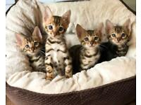 Outstanding Tica Bengal Kittens