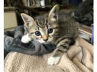 Kitten for sale girl tabby