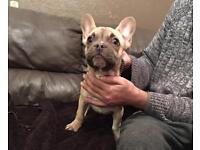 Choc Fawn french bulldog girl kc reg lilac