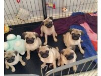 KC Registered Pug Puppies. Ready Now.